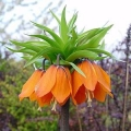 Fritallaria imperialis / Orange / ağlayan gelin / ters lale